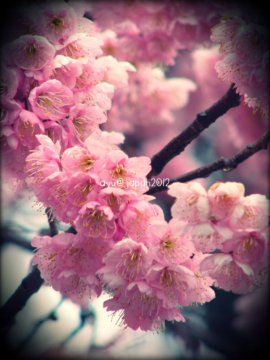 Gambar Bunga Untuk Wallpaper Hp Gudang Wallpaper
